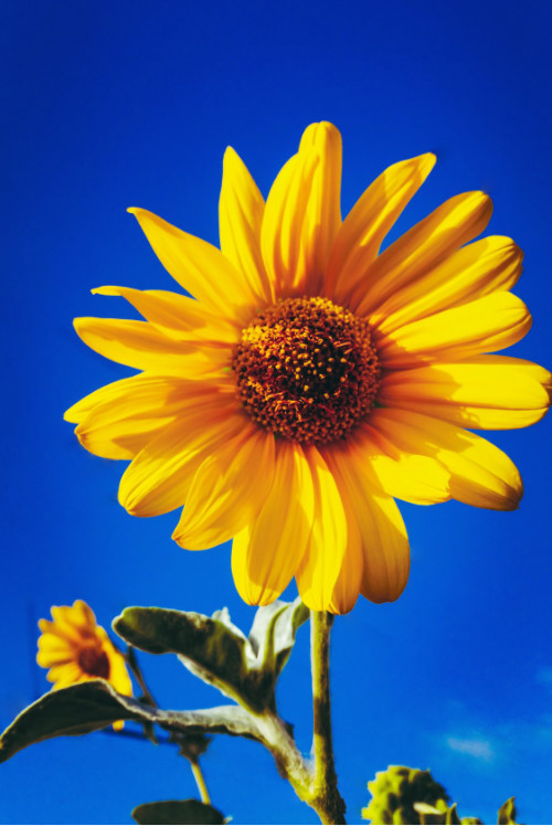 sunflower plant nature vibrant
